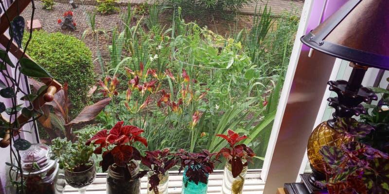 Giardino del davanzale della finestra, piante 2019 del coleus fotografia stock libera da diritti