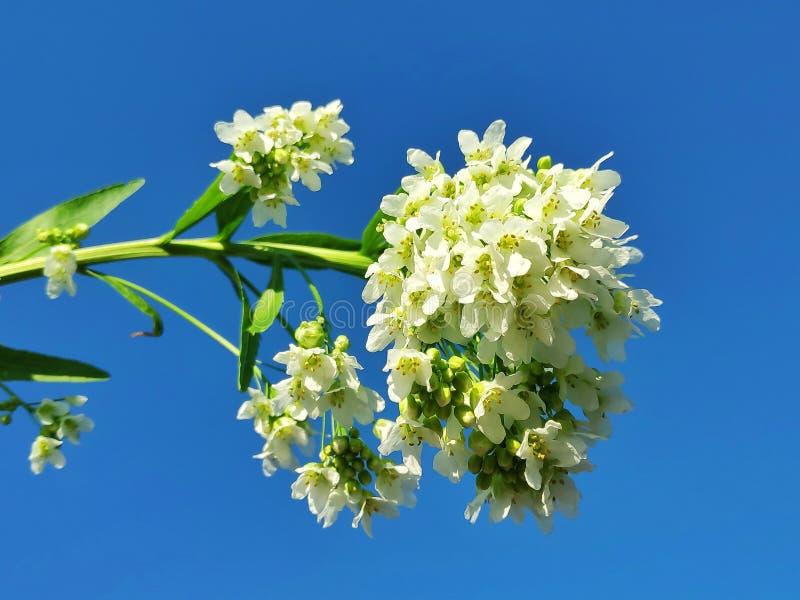 Giardino del rafano della fioritura immagini stock libere da diritti
