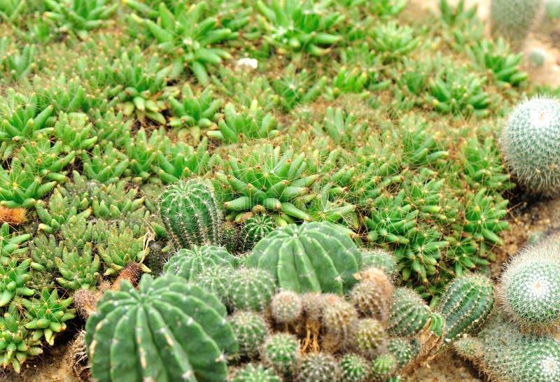 Download Giardino Della Pianta Del Cactus Immagine Stock - Immagine di esotico, calore: 30829441