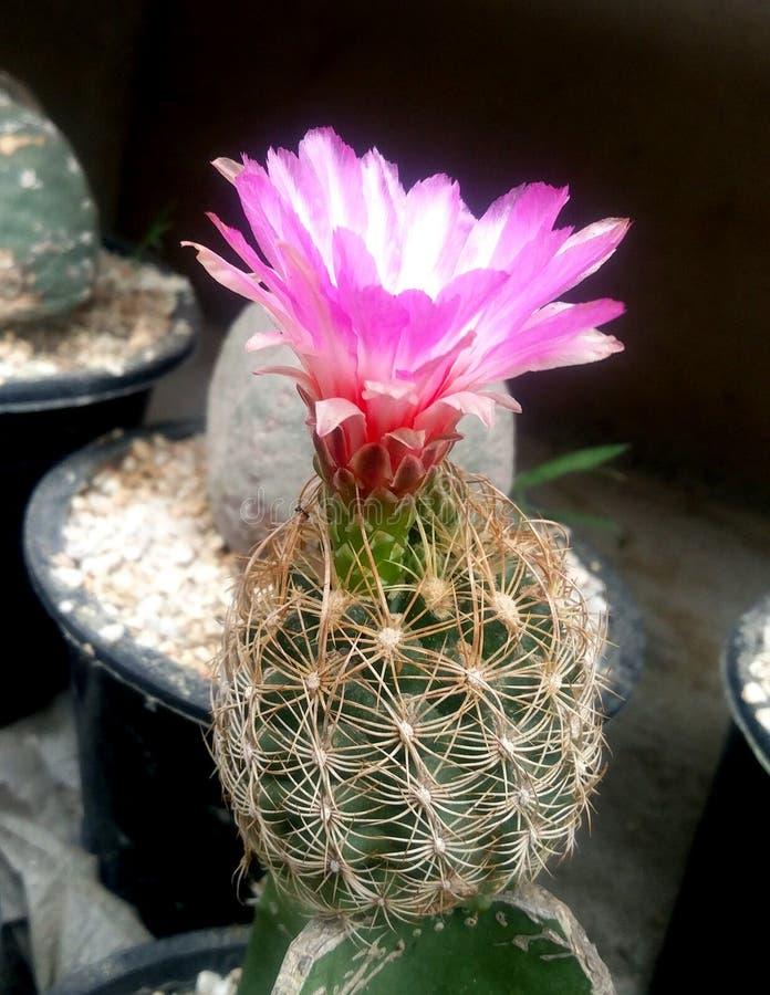 Giardino della pianta del cactus nella stagione invernale immagini stock