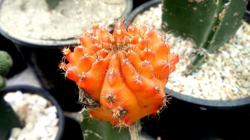Giardino della pianta del cactus nella stagione invernale fotografia stock