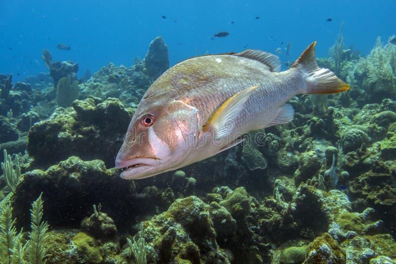 Giardino di corallo caraibico, snapper del cane fotografia stock libera da diritti