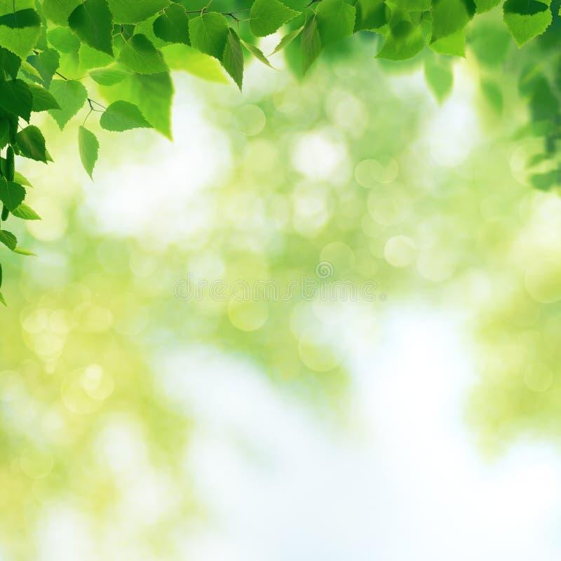 Giardino di estate, ambiti di provenienza stagionali di bellezza con l'albero di faggio fotografia stock libera da diritti