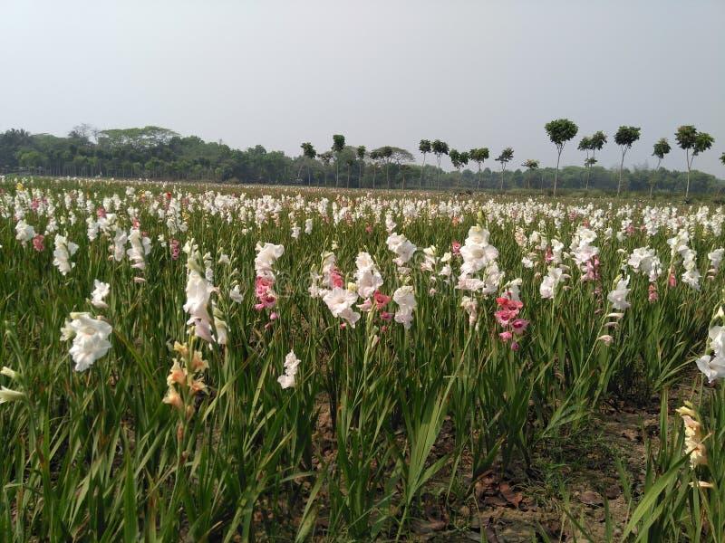 Giardino di fiori di gardenia fotografia stock