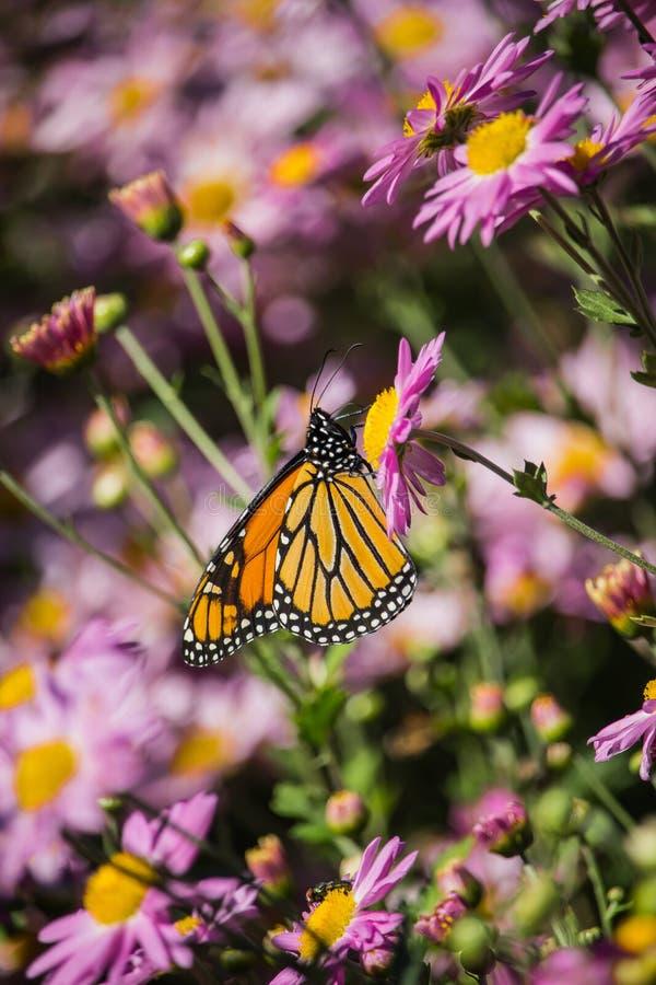 Giardino di fiori viola con la farfalla arancio fotografia stock