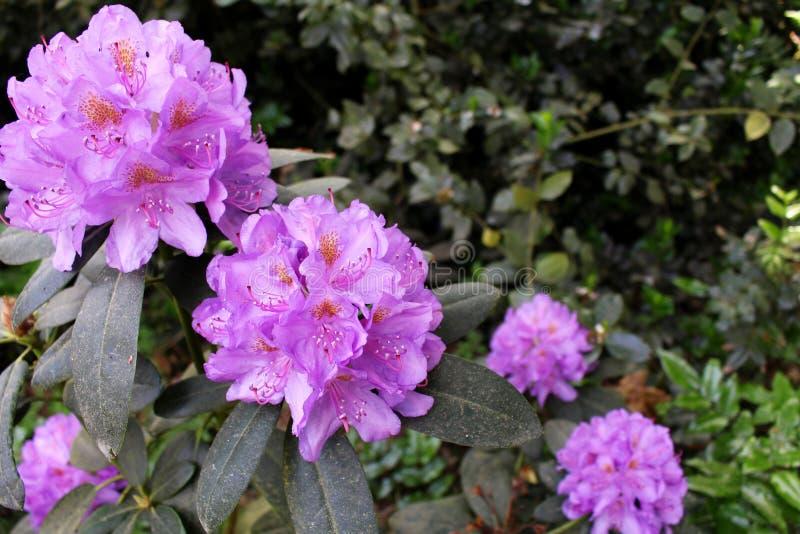 Giardino di fioritura del rododendro del primo piano in primavera Stagione dei rododendri di fioritura Priorità bassa della sorge fotografia stock libera da diritti