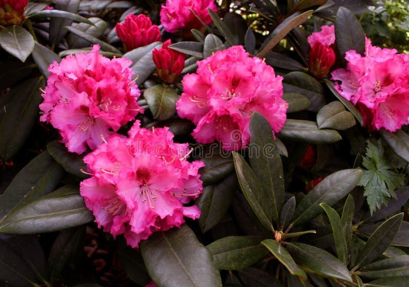 Giardino di fioritura del rododendro del primo piano in primavera Stagione dei rododendri di fioritura Priorità bassa della sorge immagine stock libera da diritti