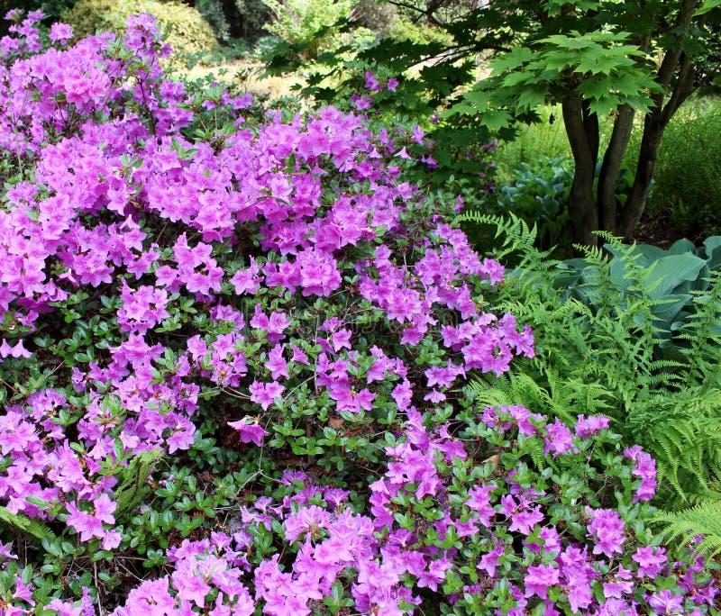 Giardino di fioritura del rododendro del primo piano in primavera Stagione dei rododendri di fioritura Priorità bassa della sorge immagini stock libere da diritti