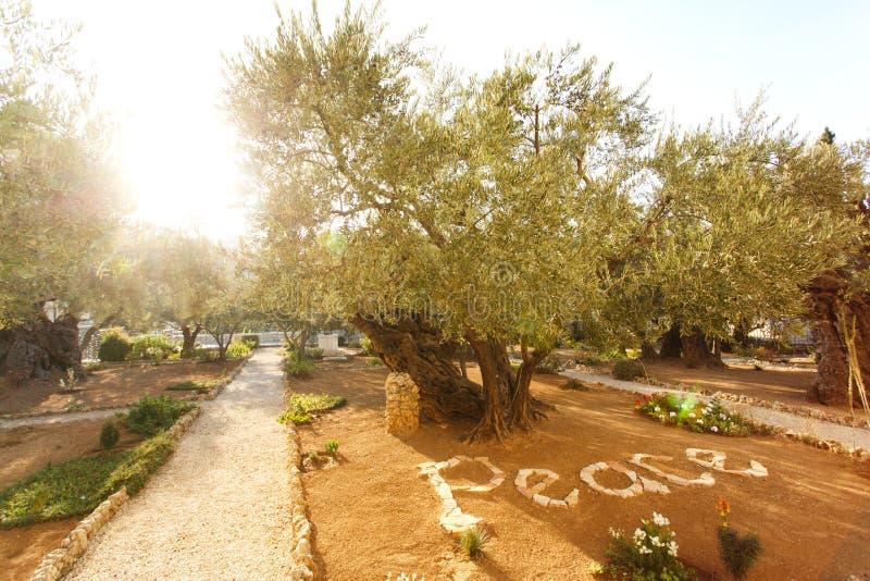 Giardino di Gethsemane, posto storico famoso fotografia stock libera da diritti