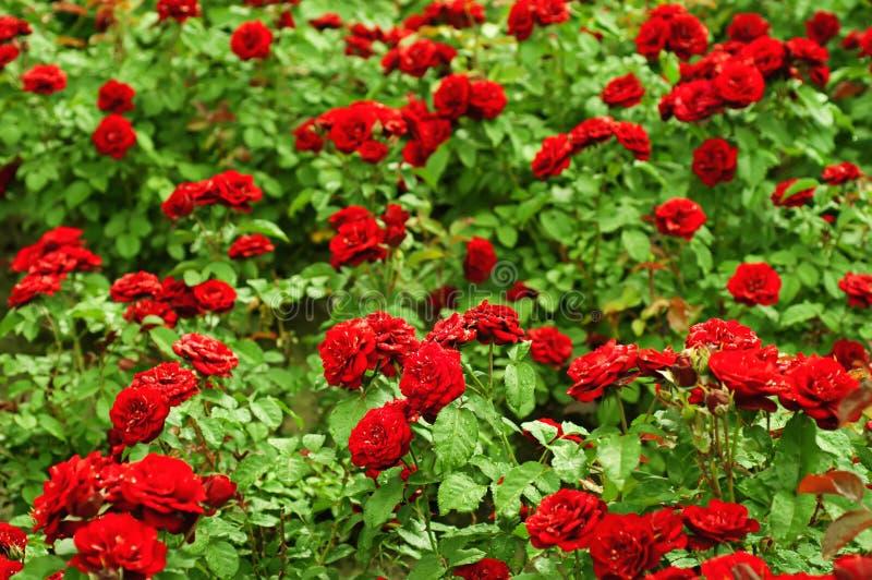 Giardino di rose rosse fotografia stock immagine di - Giardino con rose ...