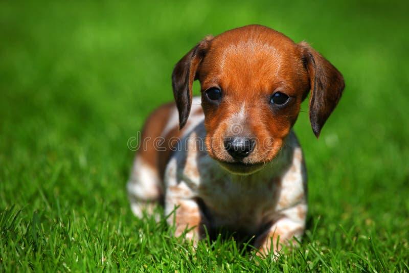 Giardino di stagione di autunno del cucciolo di cane del bassotto tedesco immagine stock libera da diritti