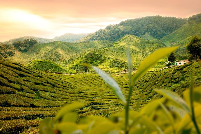 Giardino di tè fotografie stock libere da diritti