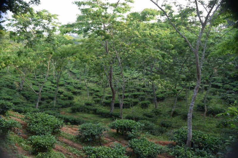 Giardino di tè di Fatickchri Odulia, Najirhat, Chittagong, Bangladesh fotografie stock libere da diritti