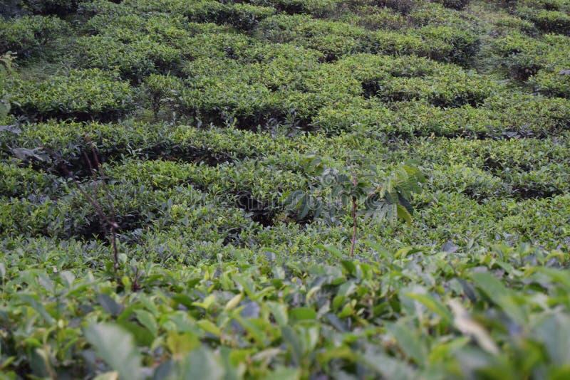 Giardino di tè di Fatickchri Odulia, Najirhat, Chittagong, Bangladesh fotografia stock