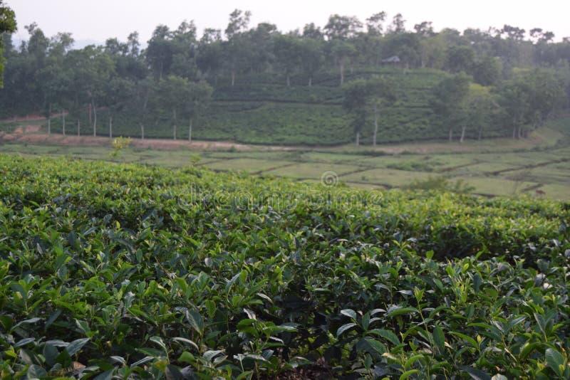 Giardino di tè di Fatickchri Odulia, Najirhat, Chittagong, Bangladesh immagini stock