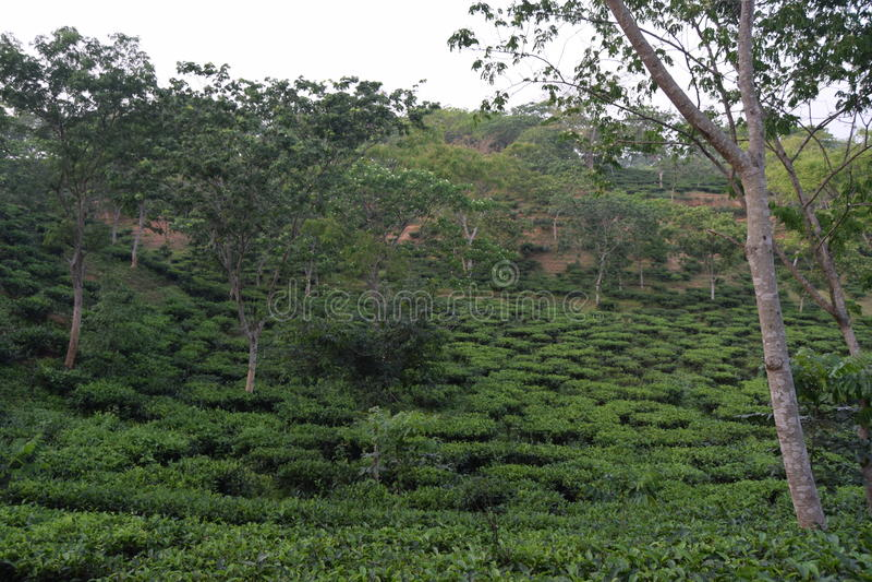 Giardino di tè di Fatickchri Odulia, Najirhat, Chittagong, Bangladesh fotografie stock