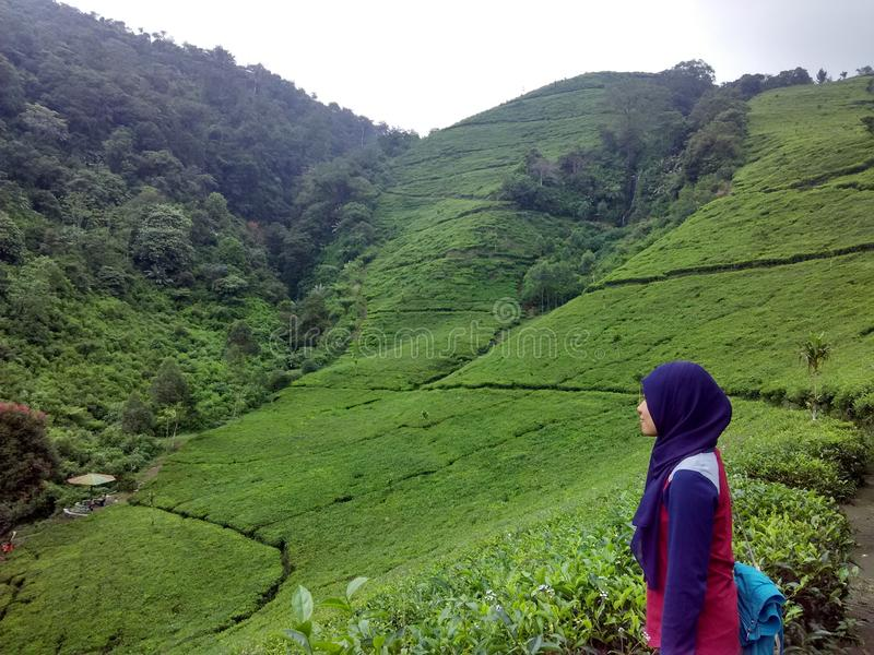 Giardino di tè a Kaligua immagini stock