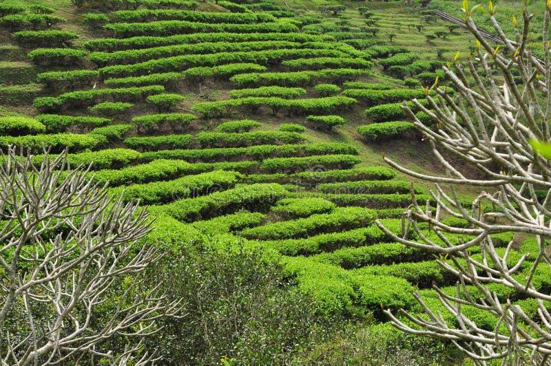 Giardino di tè in Taiwan su un pendio della collina immagine stock libera da diritti