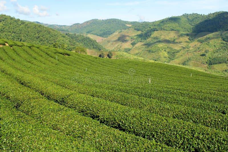 Giardino di tè verde sulla collina immagini stock libere da diritti