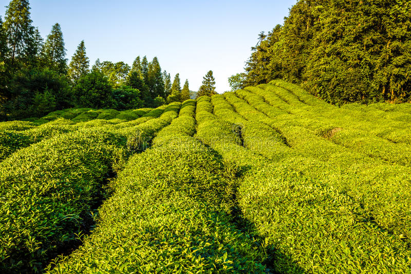 Giardino di tè verde sulla collina fotografia stock libera da diritti