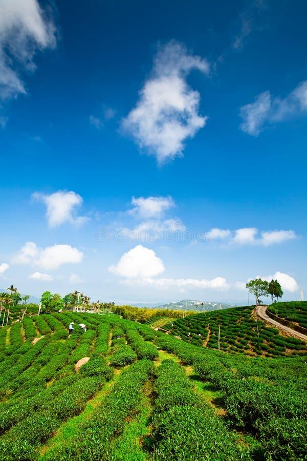 Giardino di tè verde sulla collina trascurata immagine stock libera da diritti