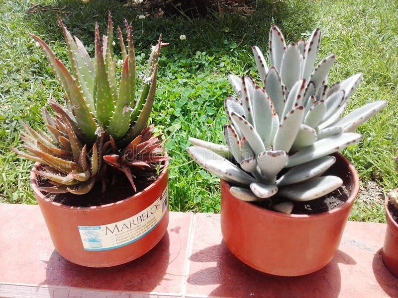 Giardino esotico dell'agave del cactus delle piante fotografia stock libera da diritti