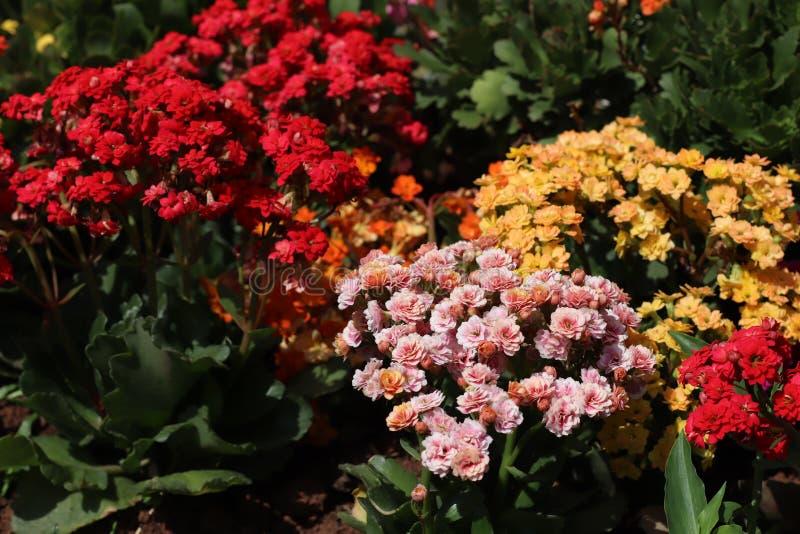 Giardino fiorito con il kalandiva fotografia stock libera da diritti