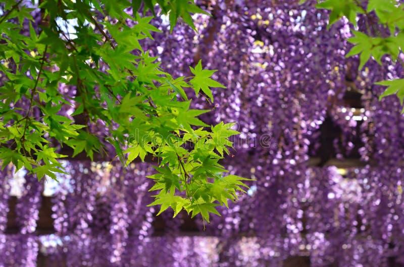 Giardino giapponese nella città di Kyoto, glicine   fotografia stock