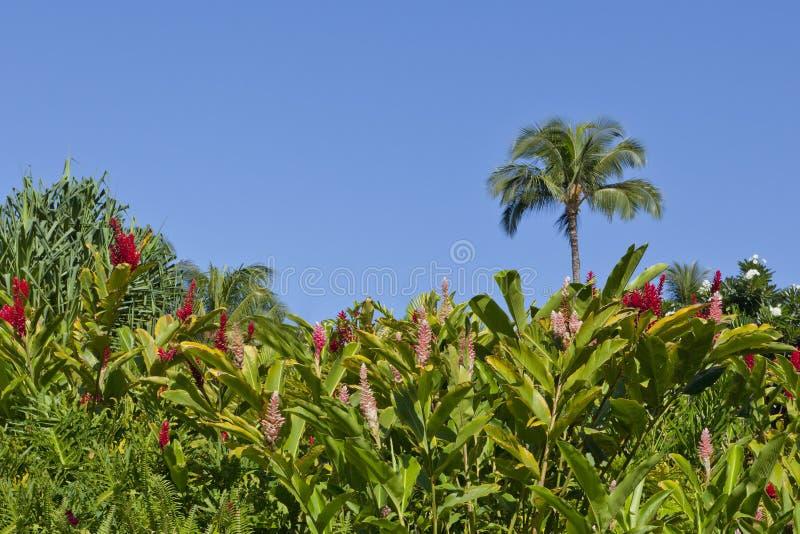Giardino hawaiano dello zenzero fotografia stock