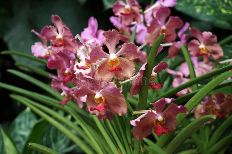Giardino nazionale singapore dell 39 orchidea di singapore del giardino delle orchidee immagine - Orchidee da esterno ...