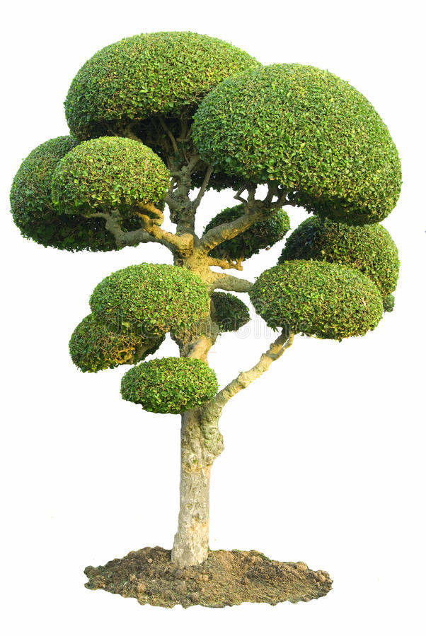 Giardino ornamentale isolato dell'albero di fico fotografia stock libera da diritti