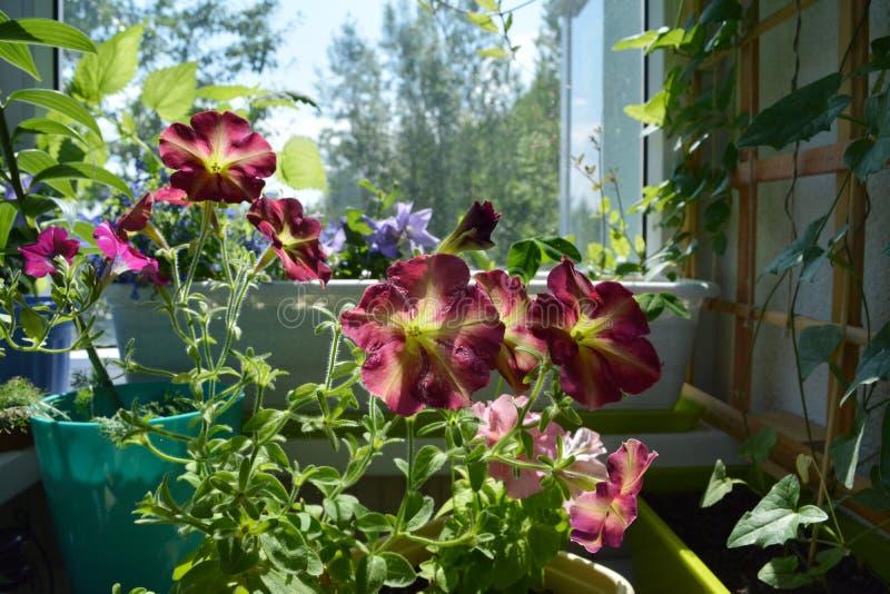 Giardino perfetto sul balcone con le petunie di fioritura Inverdimento decorativo con i fiori in vasi fotografie stock