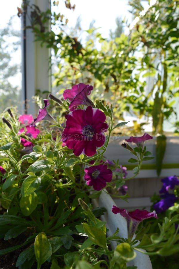 Giardino perfetto sul balcone La petunia di fioritura si sviluppa in vaso di fiore Inverdimento domestico fotografie stock libere da diritti
