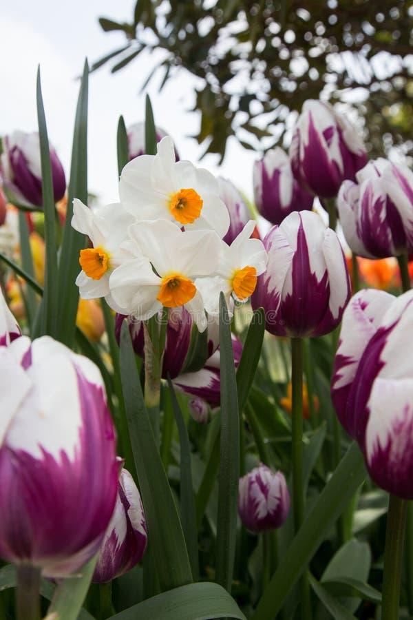 Giardino in pieno dei tulipani bianchi e porpora e del narciso bianco fotografie stock