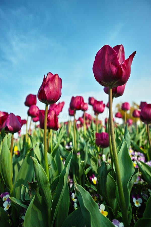 Giardino porpora dei tulipani fotografia stock