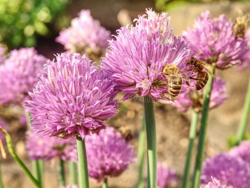 Giardino porpora della erba cipollina del fiore in primavera Bei grandi fiori della erba cipollina fotografie stock libere da diritti