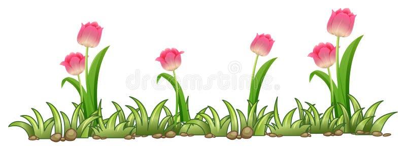 Giardino rosa del tulipano su fondo bianco royalty illustrazione gratis