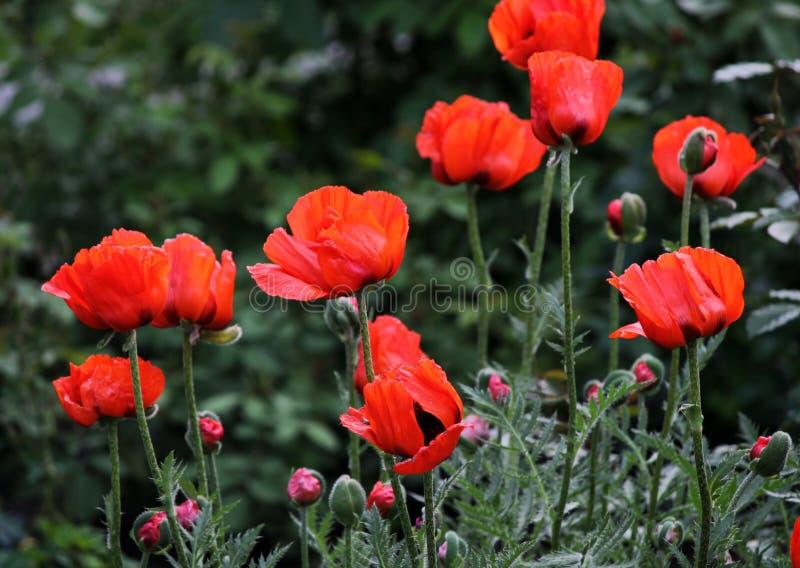 Giardino rosso dei papaveri immagini stock libere da diritti