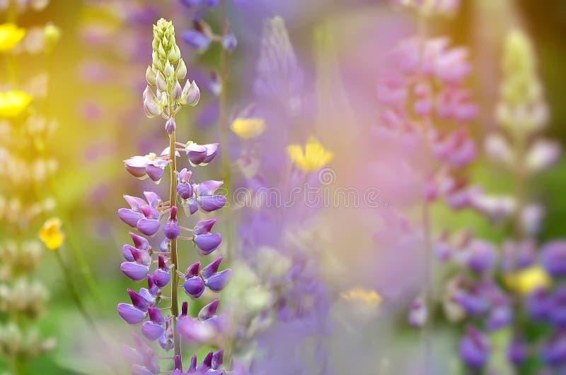 Giardino variopinto dei fiori di fioritura del lupino fotografia stock libera da diritti