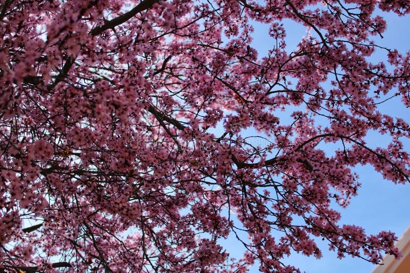 Giardino variopinto e di rilassamento con l'albero del fiore di ciliegia in Riopar, Albacete fotografia stock