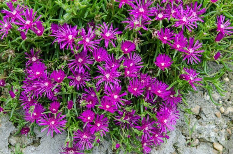 Giardino verde con i fiori variopinti di un porpora-rosa fotografie stock