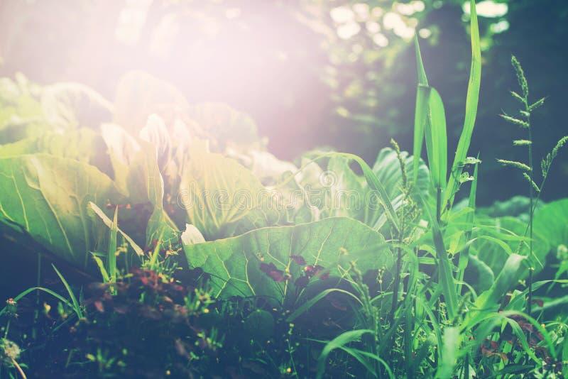 Giardino verde del letto con cavolo e l'erbaccia fotografia stock