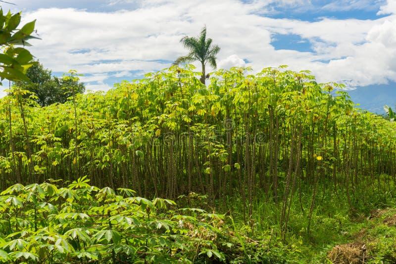 Giardino verde in pieno degli alberi, dei cespugli e del cocco della manioca con il bello cielo nuvoloso come foto del fondo cont fotografie stock