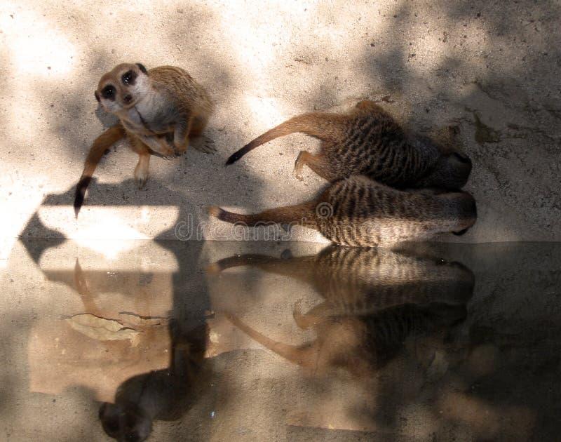 Giardino zoologico Meerkat che osserva in su immagine stock