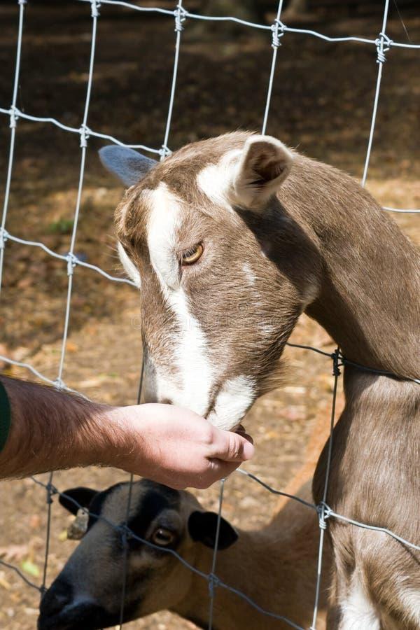 Giardino zoologico Petting della capra immagini stock libere da diritti