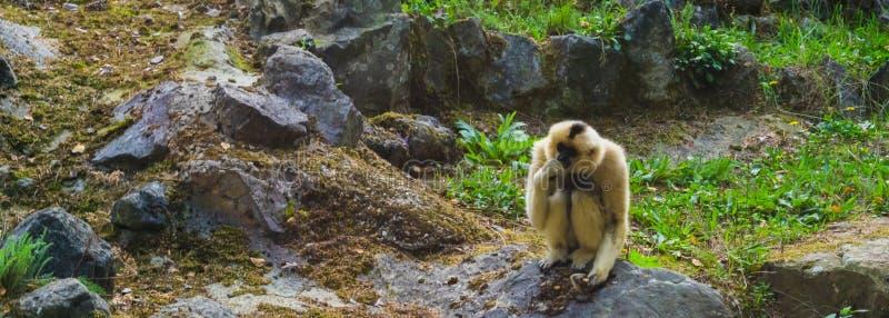 Gibão cheeked amarelo fêmea que senta-se em uma rocha, macaco que pensa, specie animal posto em perigo de Ásia foto de stock royalty free