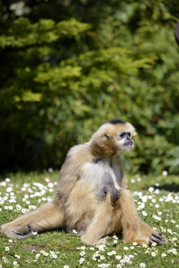 Gibão do Lar que senta-se na grama foto de stock