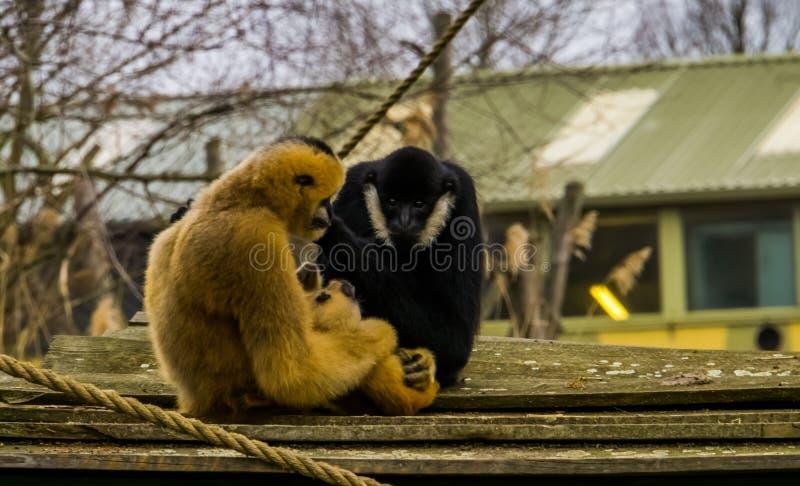 Gibón de la madre que detiene a su niño recién nacido, padre que mira, retrato de la familia del mono fotos de archivo