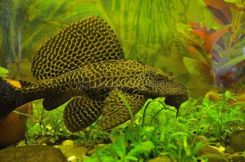 Gibbiceps Pterygoplichthys стоковая фотография rf