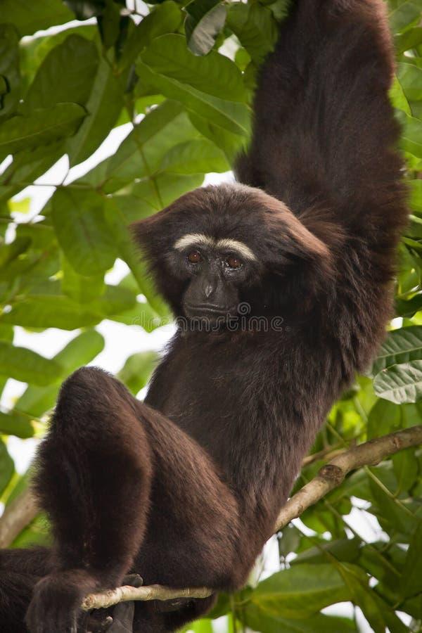 Gibbon ágil fotografia de stock